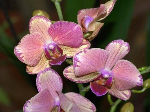 Как отрастить корни у орхидеи