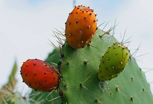 Съедобный кактус опунция