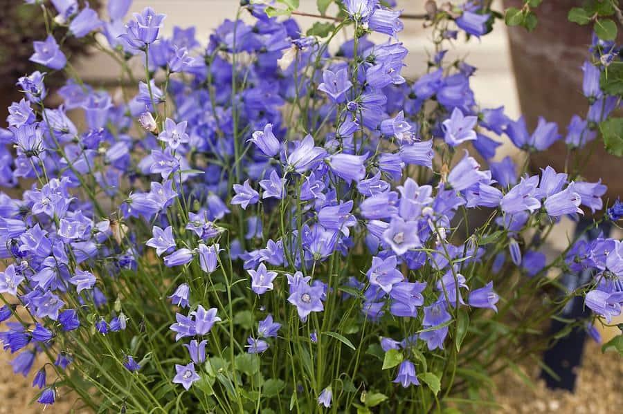 Цветы колокольчики многолетние