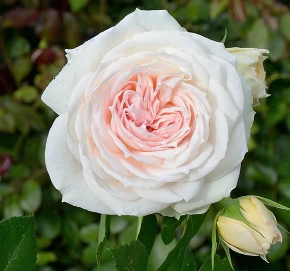 Красивые розы розовые
