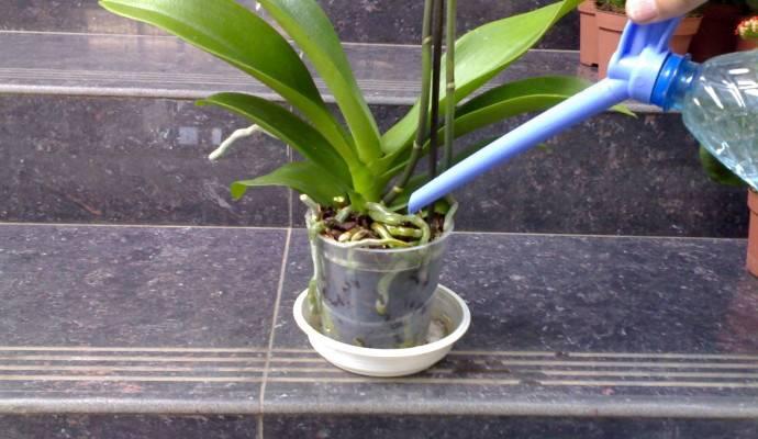 Как часто нужно поливать орхидею