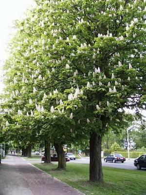 Какое дерево бывает черным белым и пирамидальным