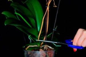 Желтые корни у орхидеи что делать