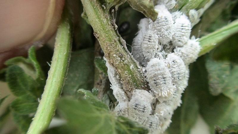 Белый налет на растениях домашних 9