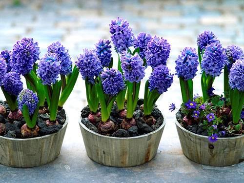 Цветок гиацинт как ухаживать в домашних условиях 181