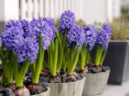Цветок гиацинт как ухаживать в домашних условиях 97