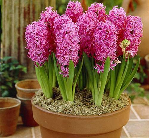 Цветок гиацинт как ухаживать в домашних условиях 69
