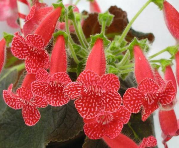 Красные домашние цветы