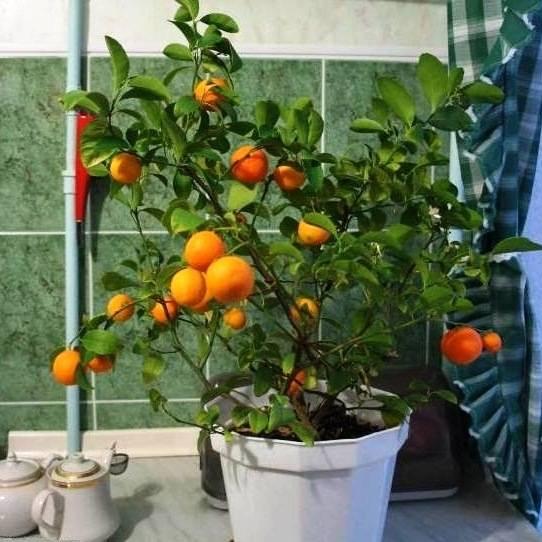 Мандариновое дерево из косточки