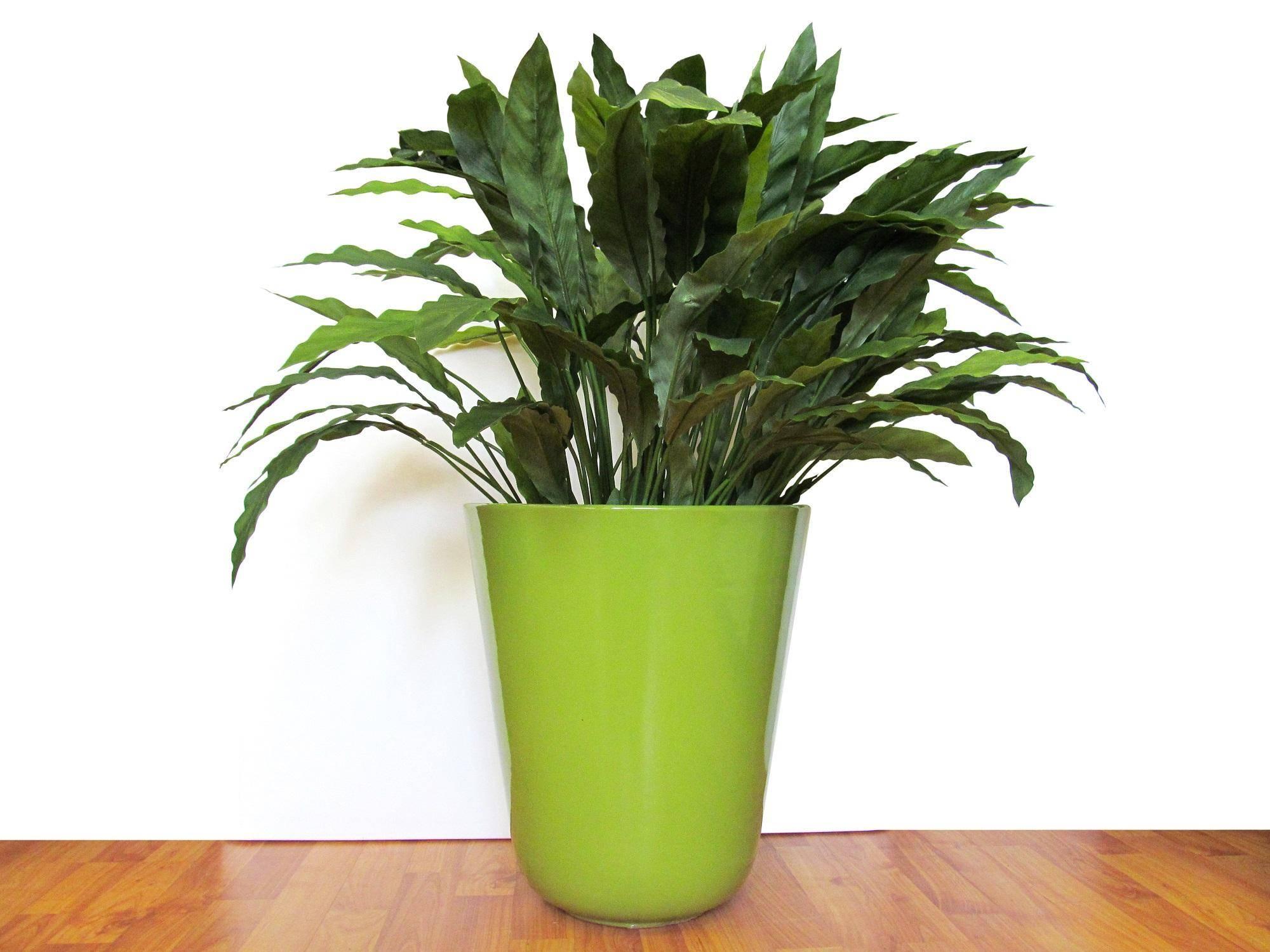 Комнатный цветок калатея