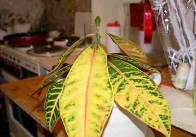 Кротон сохнут и опадают листья