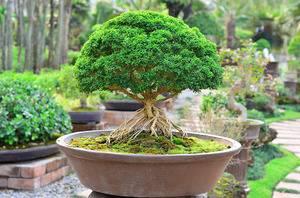 Дерево бонсай как вырастить из семян