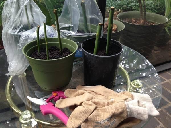 Укоренение черенков роз из букета