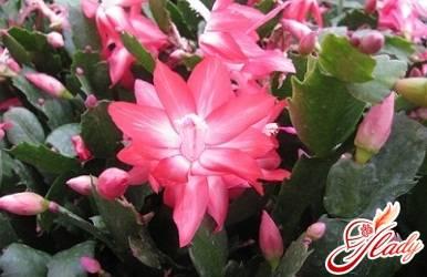 Цветы комнатные декабрист как ухаживать