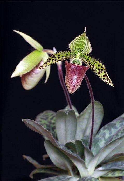 Каких цветов бывают орхидеи
