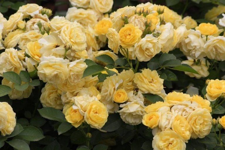 Цветут бутоны с июня до осени, в высоту достигают до 140 см