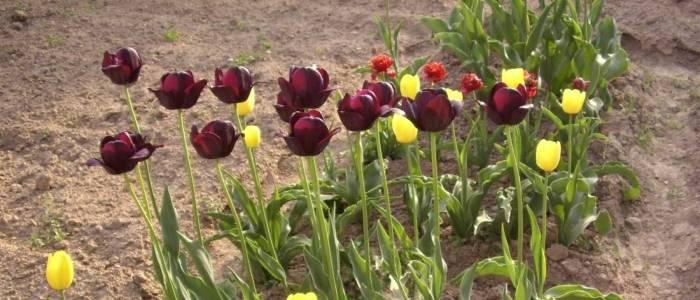 Выкопка тюльпанов после цветения