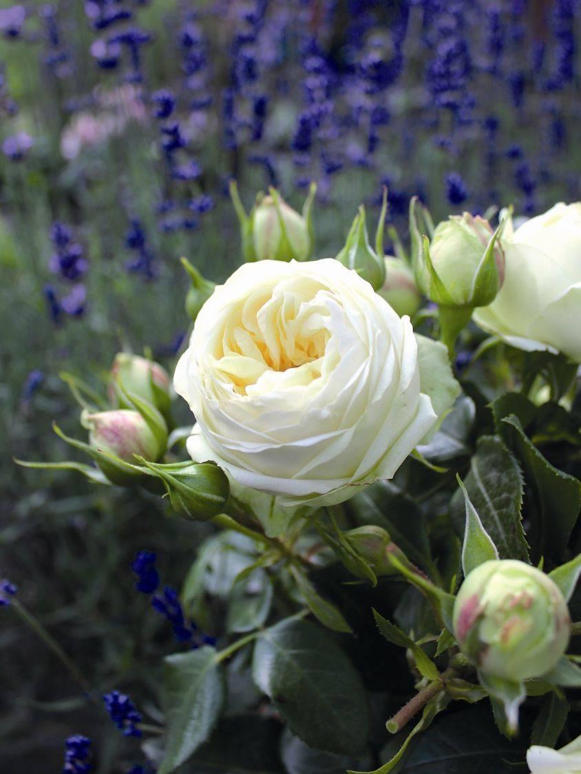 Роза патио спрей