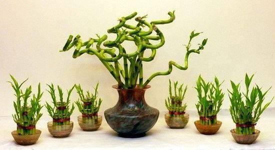 Домашнее растение бамбук