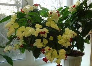 Томпсона цветок