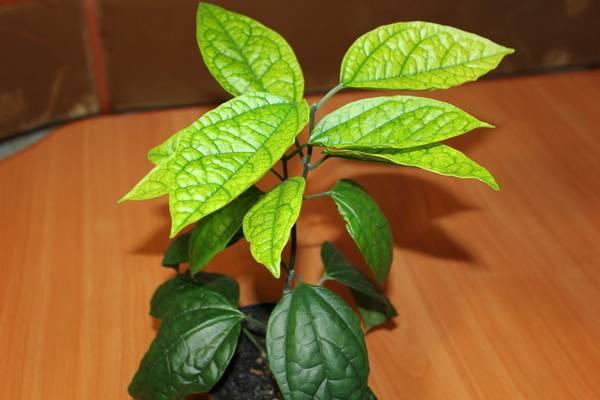 Почему не цветет клеродендрум