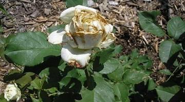 Серая гниль на розах как бороться