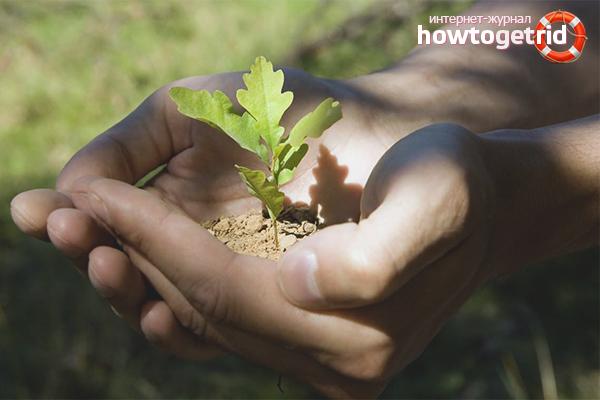 как выращивать дуб в домашних условиях