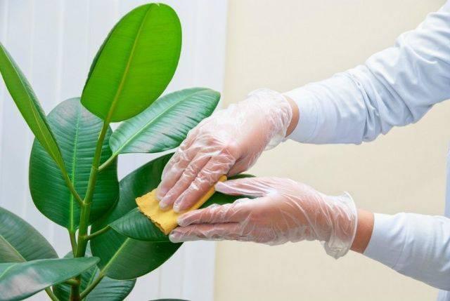 Белый липкий налет на комнатных растениях