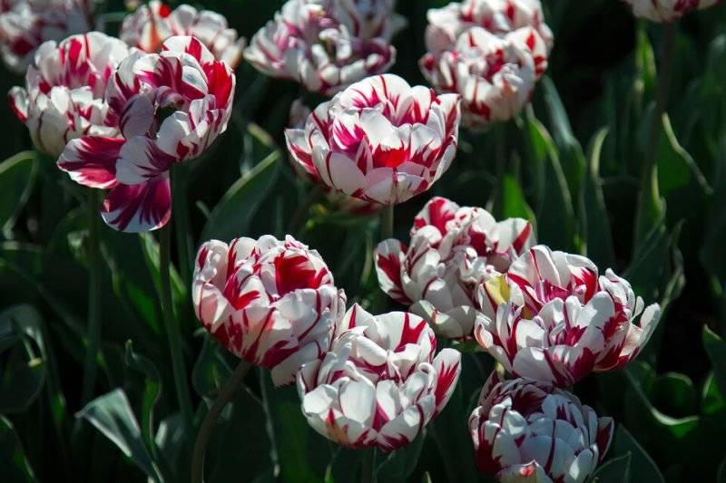 Тюльпаны как размножить