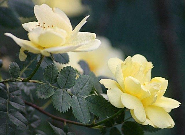 Зеленые жучки на розах
