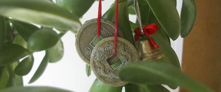Как часто поливать денежное дерево
