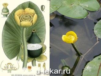 Лилия водяная желтая