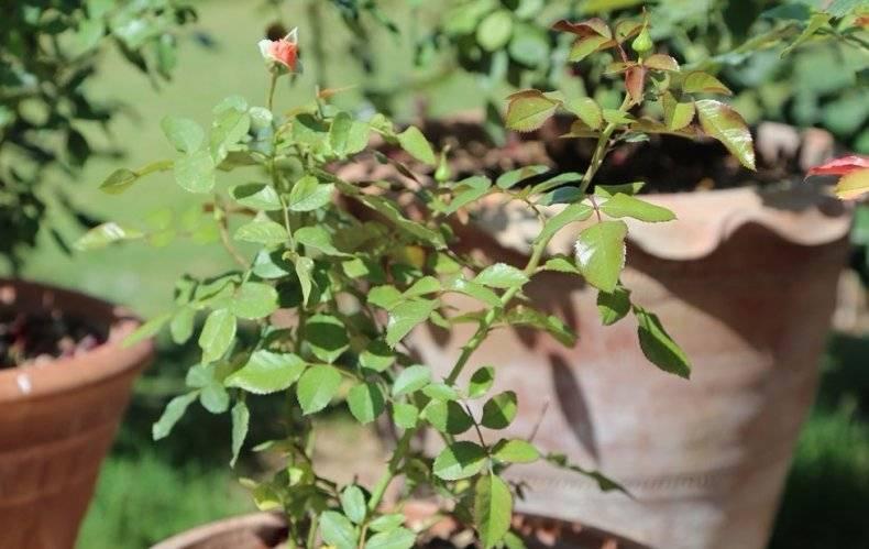 Роза «Вестерленд»