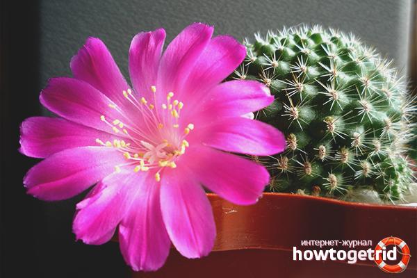 Как заставить кактус цвести в домашних условиях