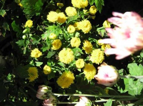 Маленькие хризантемы