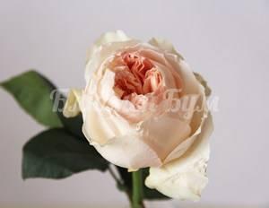 Так выглядит бутон розы пионовой.