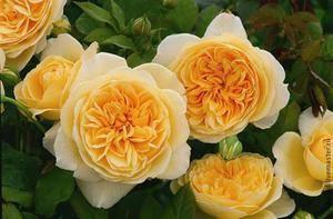 Пионовидная роза желтого цвета