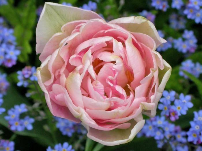цветы похожие на пионы как называются