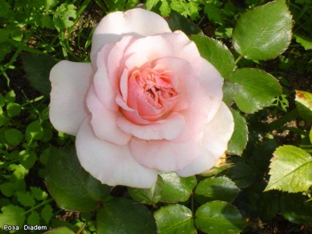 Роза диадем