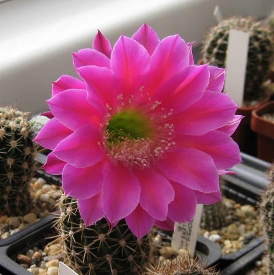 Цветок эхинопсис