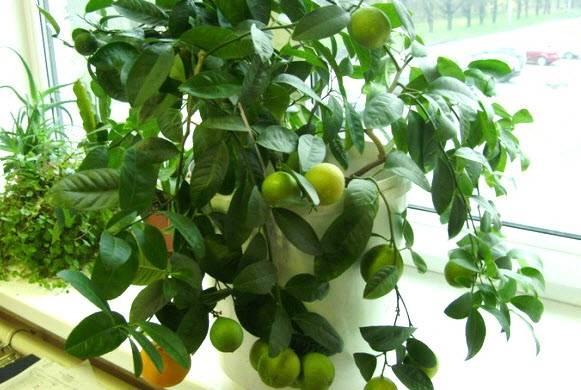 Как посадить лимон в домашних условиях