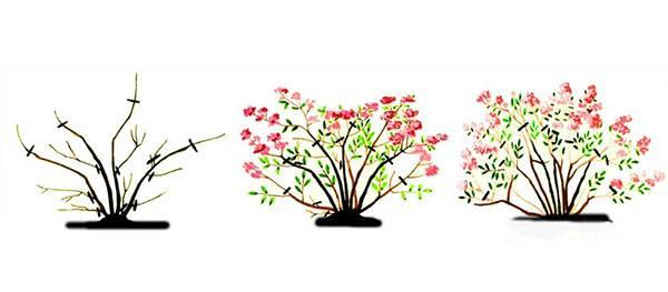 Как посадить спирею