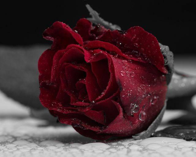 Темно бордовые розы