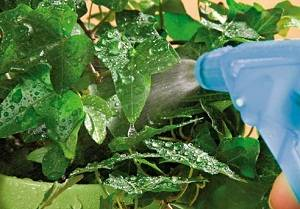 Актара для комнатных растений как разводить