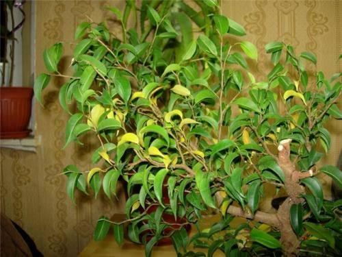 Почему у фикуса сохнут кончики листьев