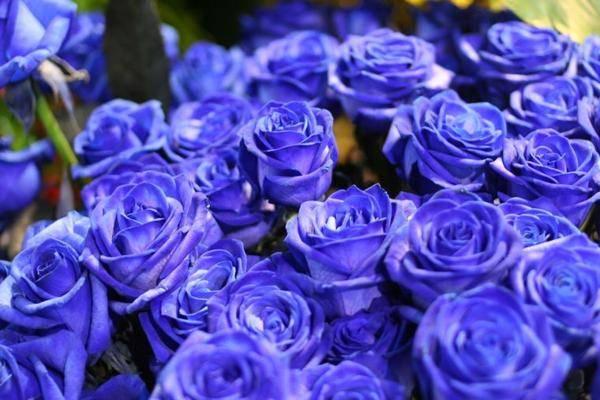 синее розы