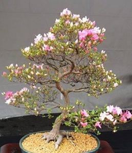 Японское маленькое дерево