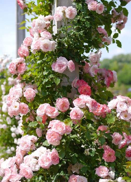 Огромные розы