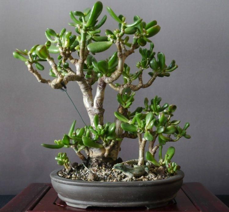 Денежное дерево как прищипывать