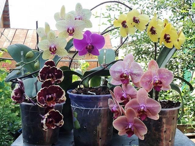 Сколько раз цветет орхидея в домашних условиях